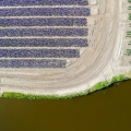 De bollenteelt in de Duin- en Bollenstreek is sterk afhankelijk van goed waterbeheer