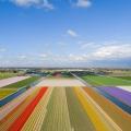 Bollenvelden bij Lisse, een economische pijler voor Nederland en een kwetsbaar gebied wat betreft waterbeheer